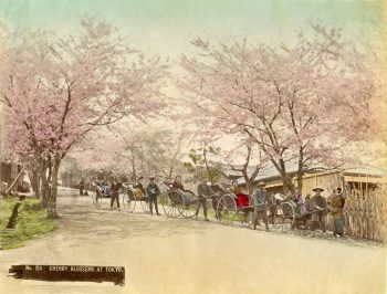 005 Cherry blossoms at Tokyo