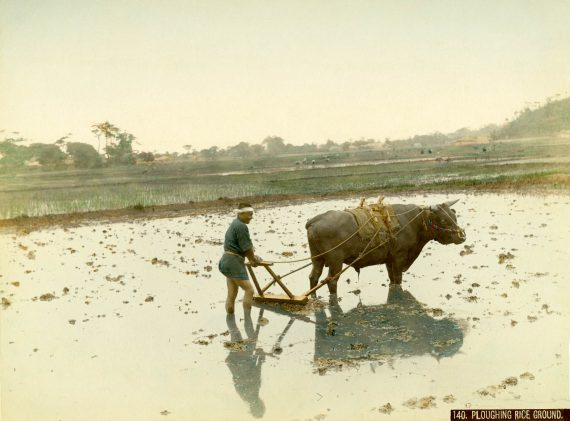 019 Ploughing rice ground