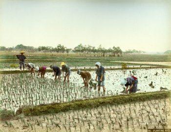 039 Planting rice