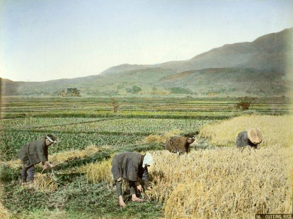 040 Harvesting rice